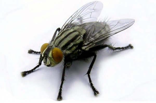 Дезинсекция мух