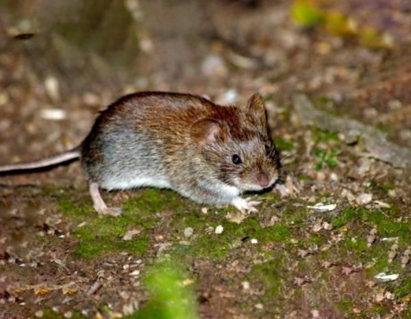 Фото крысы на участке