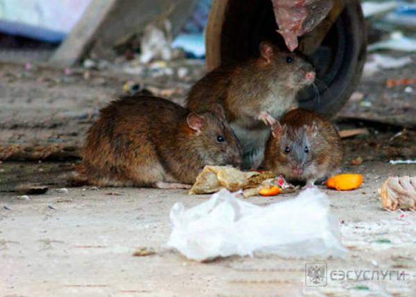 Фото питающихся крыс