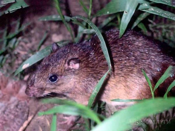 Фото земляной скрысы на участке