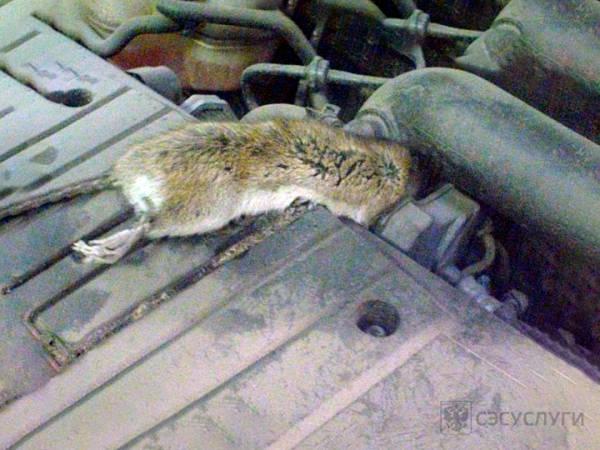 Крыса под капотом