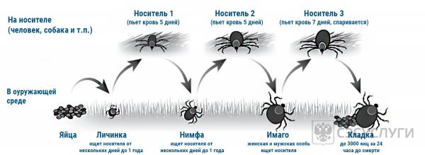 Изображение со стадиями развития иксодового клеща