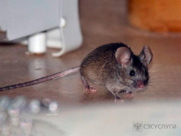Фото мыши на полу