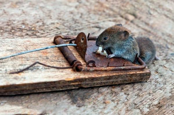 Фото мыши в мышеловке