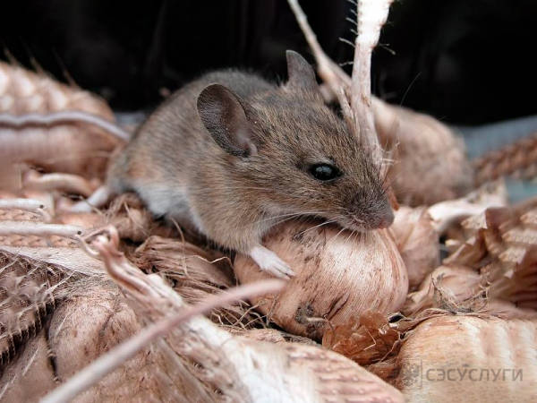 Мышь в частном доме