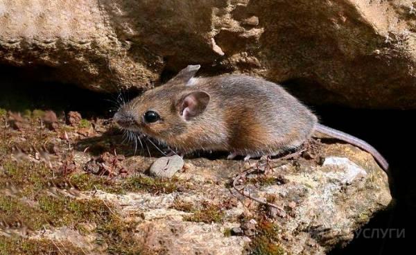 Мышь на траве