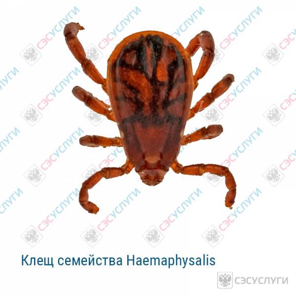 Клещ семейства Haemaphysalis