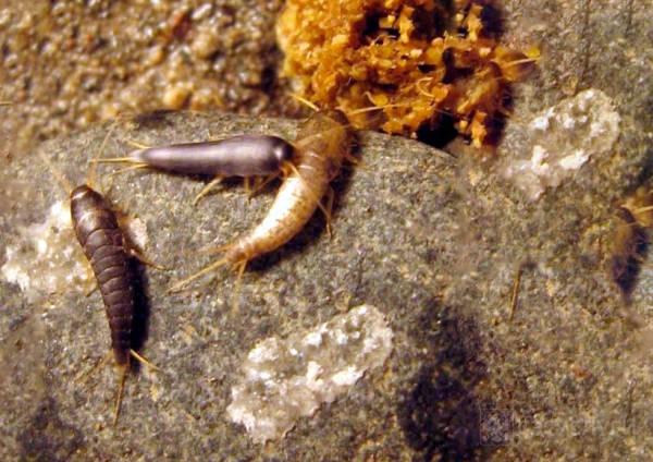 Размножение чешуйниц