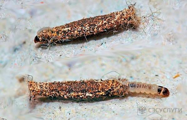 Фото личинок платяная моли