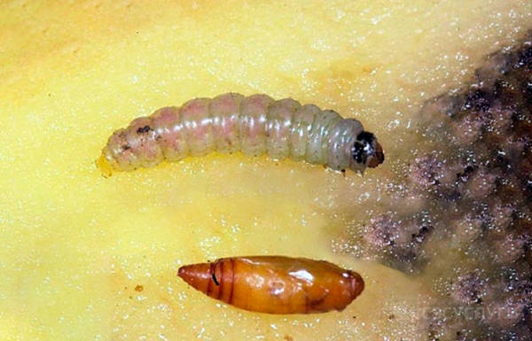 Фото личинок картофельной моли