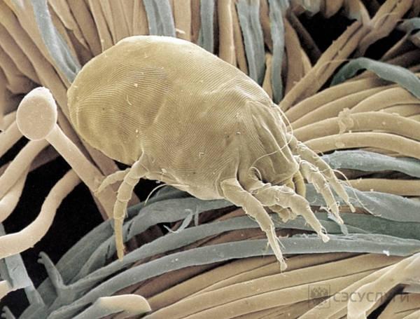 Микрофото: пылевой клещ