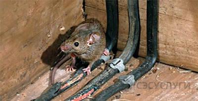 Фото мыши, грызущей провода