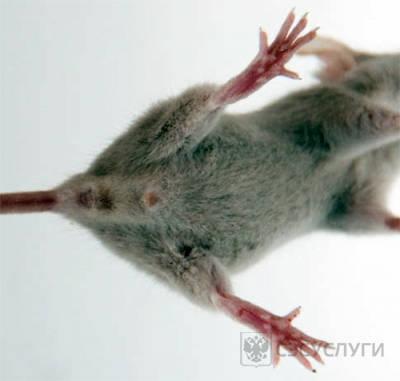 Определение пола мыши