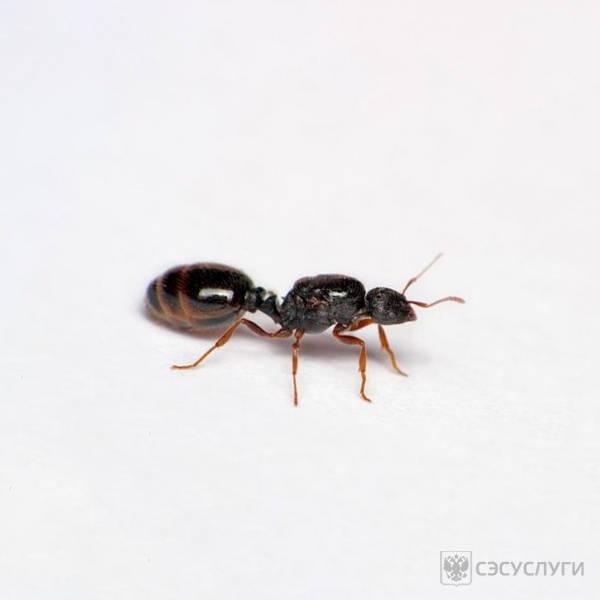 Домашние муравьи в доме: как вывести и избавиться навсегда