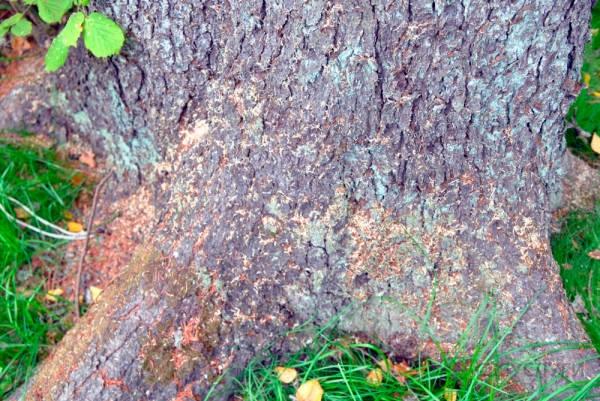 Пораженное короедом дерево