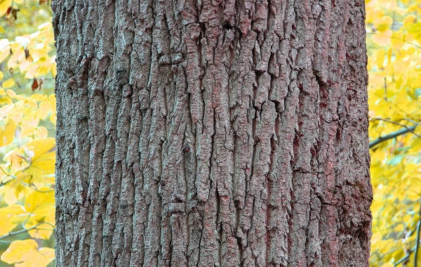 Здоровая кора дерева