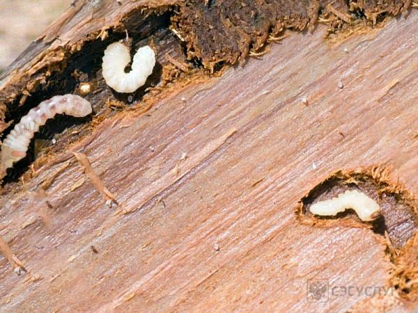 Личинки короеда (фото 1)