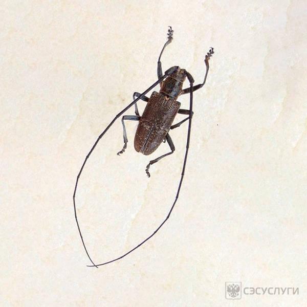Вред от жука усача