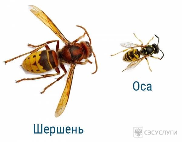 Отличие шершня и осы