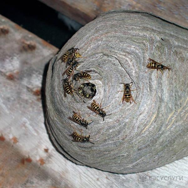 Гнездо шершней Vespa