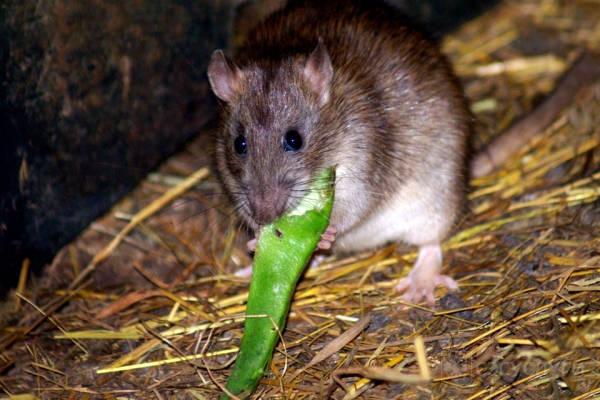 Крысы на складе