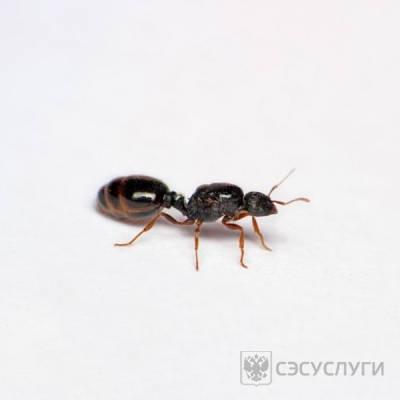 Дерновой муравей