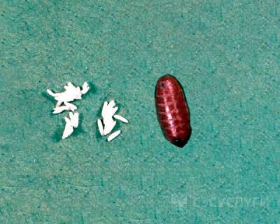 Яйца мух