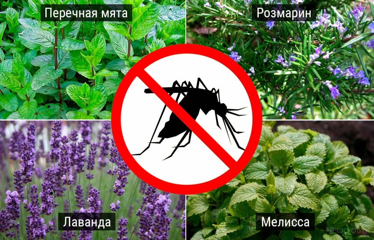 Растения отпугивающие комаров на участке