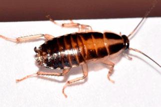 Дератизация тараканов